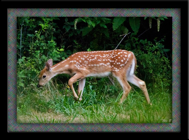 Framed spotted fawn