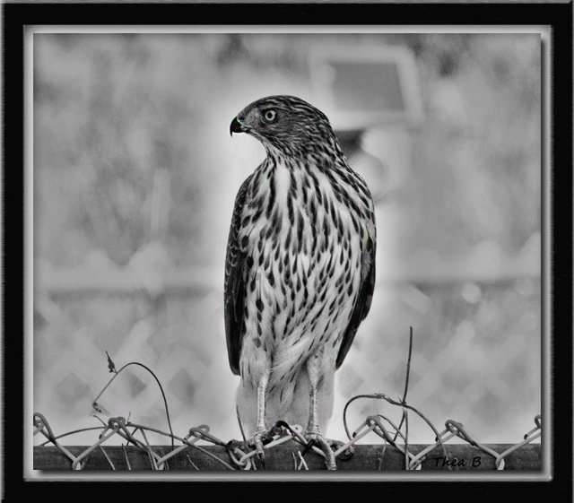 Framed Black & White Sharp-shinned Hawk